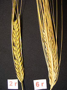 two row vs six row barley american homebrewers association