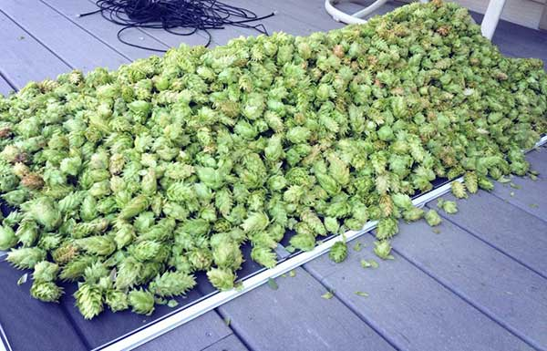 drying hops