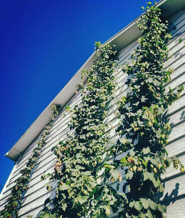 hops-on-house