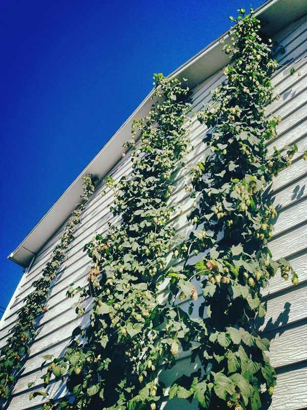 how to tell when hops are ready to harvest