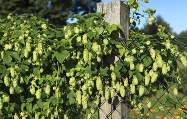 How To Harvest Prepare And Store Homegrown Hops American