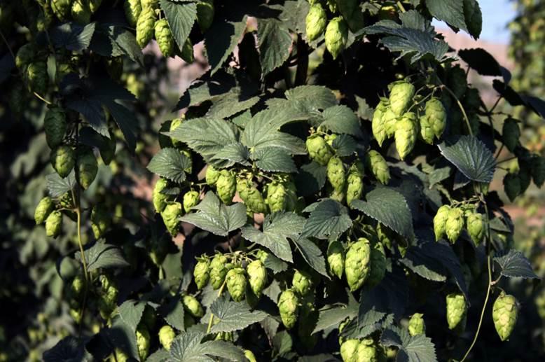 Chop & Brew: Brewing with New Hop Varieties