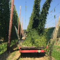 harvesting hops