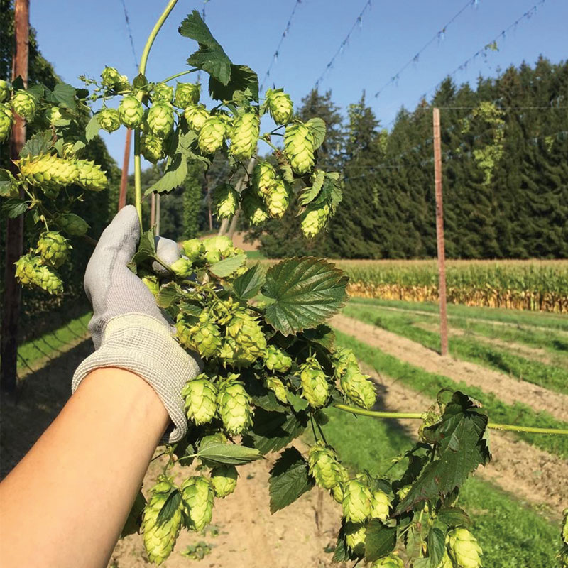British Hops Feature